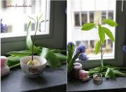 Avocado auf der Fensterbank