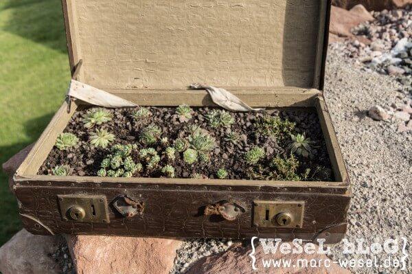 Hauswurz im Koffer