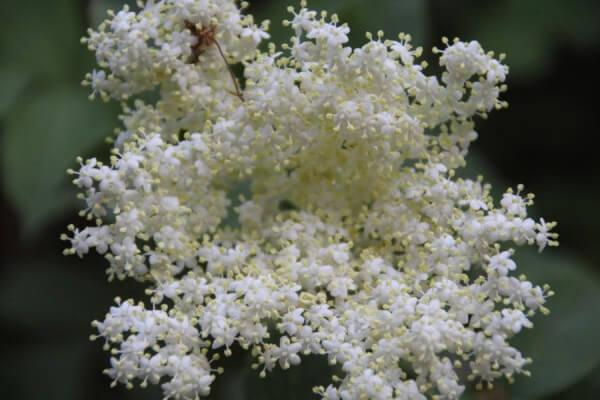 Holunderblüten - so vielseitig nutzbar, Sekt, Gelee, Salbe,