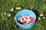 Gänseblümchen - lecker, schön und gesund - ein Heilkraut