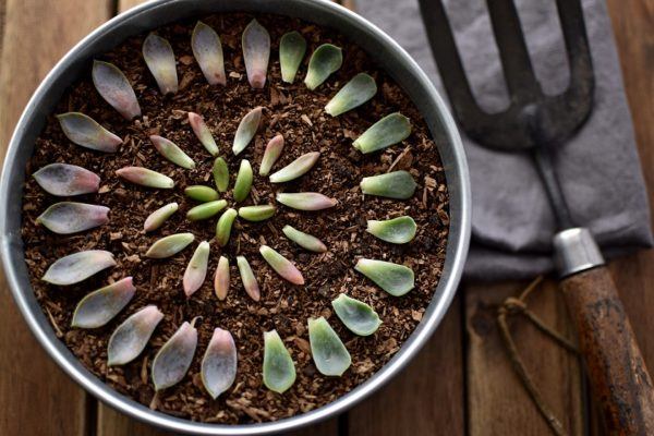Sukkulenten ganz einfach über die Blätter vermehren